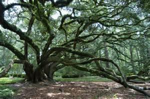 Live Oak Live Oak Society Louisiana Garden Club Federation Inc