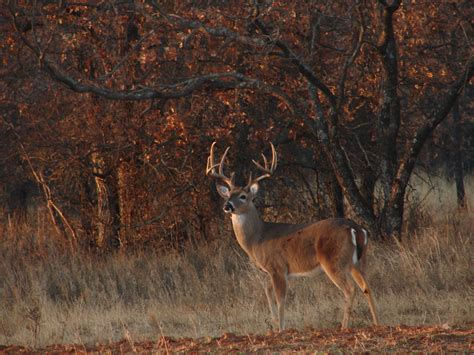 bucks bucks deer buck wallpaper