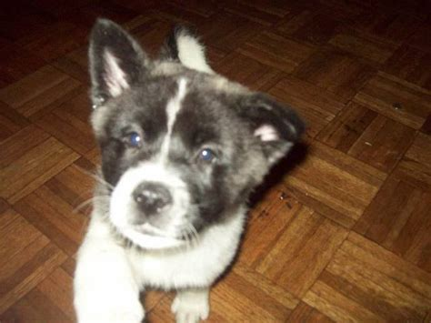 akita puppies for adoption blood akita puppies for sale adoption from houston harris adpost