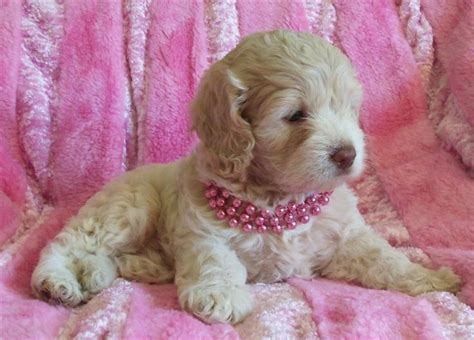 cockapoo puppies for sale in missouri best 25 miniature cockapoo ideas on golden