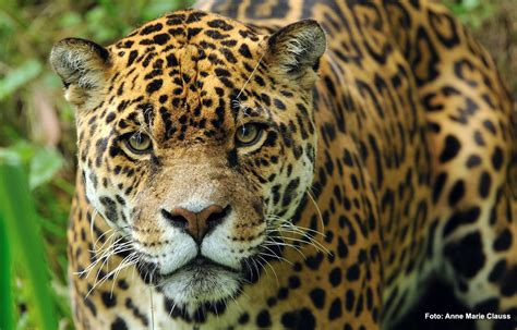 imagenes animadas de un jaguar el yaguaret 233 panthera onca