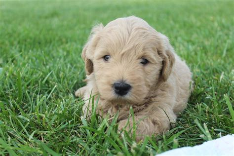 mini goldendoodles hypoallergenic mini goldendoodles in hoobly classifieds