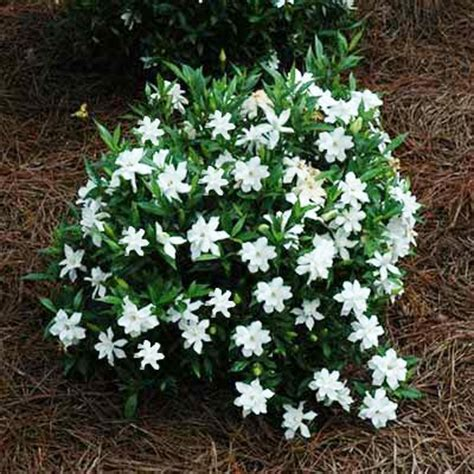 Gardenia Shrub Radicans Gardenia Jasminoides For Sale Brighter