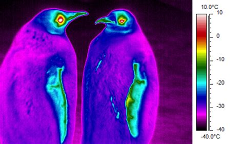 colorful penguins infrared images reveal frigid purple penguins wired