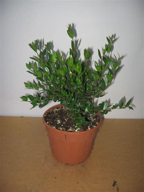mirto in vaso mirto comune myrtus communis