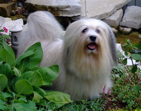 Prairiwind Havanese, Havanese Puppies AKC Havanese Ruffs Page