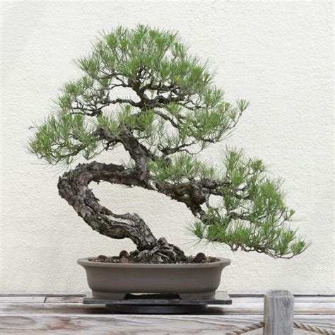 Ginseng Lokal 25 best ideas about pine bonsai on bonsai
