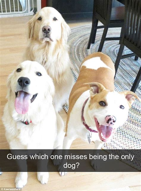 do golden retrievers bark much the funniest snapchats are revealed daily mail