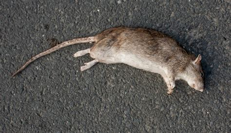 dead rat smell how to get rid of dead rat smell green rat