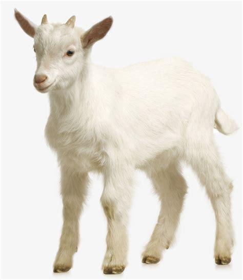 de cabras granja de cabras cabra cabra blanca poco de cabra