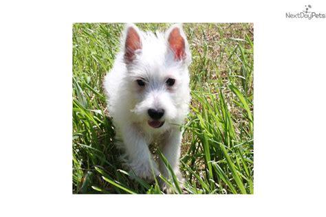 west highland terrier puppies for sale near me west highland white terrier westie puppy for sale near sioux city iowa 442b830f 3cc1