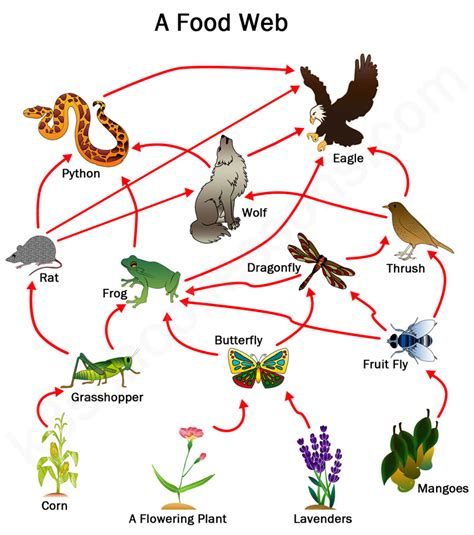 food web creator food chains and food webs exles of food chains and