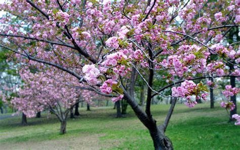 pictures of cherry blossoms pink cherry blossom wallpaper funny amazing images