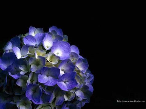 wallpaper blue hydrangea blue hydrangea vista xp and linux free desktop wallpaper