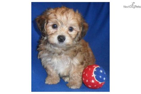 yorkie poo for sale in ohio how big are yorkie poos for hairstyle 2013