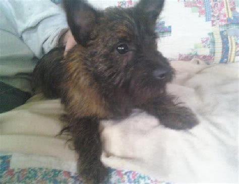 pug and cairn terrier mix buffalo pug small breed rescue inc adopted