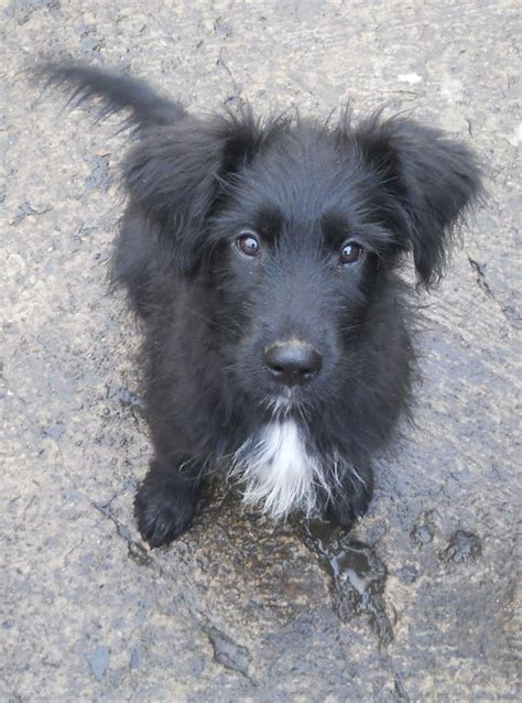 briard mix border collies collie and dogs on pinterest