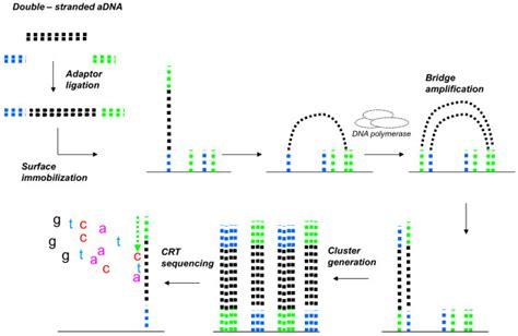 illumina genome sequencing illumina sle procedure stranded ancient dna is