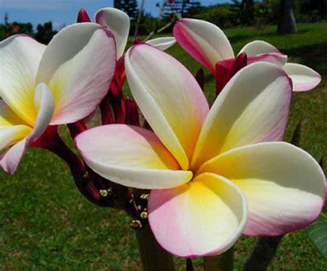 fiori tropicali nomi plumeria frangipani linguaggio dei fiori il giardino