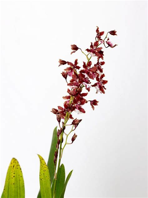 best fragrant indoor plants 17 best ideas about oncidium orchid on types