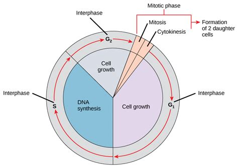 diagram of interphase the cell cycle biology i