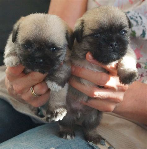 maltese and pug pug maltese dorking surrey pets4homes