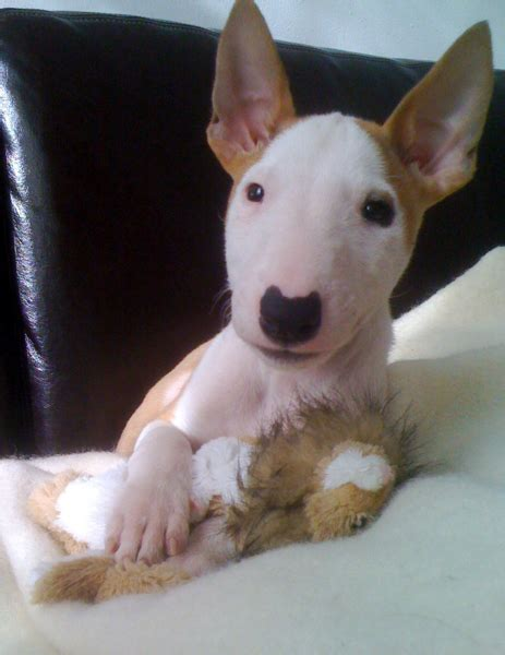 bull terrier puppy bull terrier puppy png hi res 720p hd