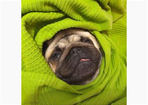 11 Adorable Pugs in Blankets ? Photo Gallery