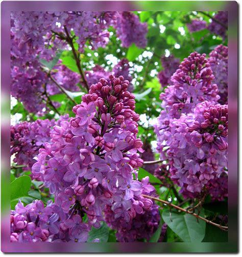 purple lilac purple lilac state symbols usa