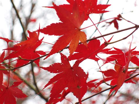 daun maple wallpaper free stock photo of autumn colours photoeverywhere