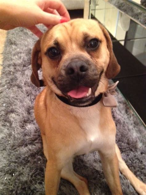 pug beagle for sale beautiful puggle for sale pug beagle hugo pontypridd rhondda cynon taff