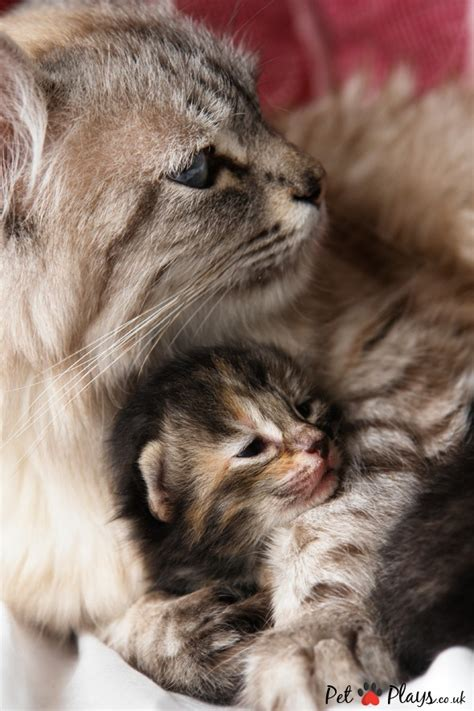cat pregnancy how to tell if your cat signs of a cat free