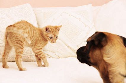 introducing cats and dogs how to introduce a and cat