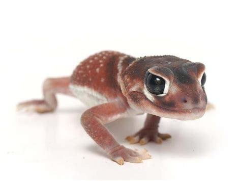 Smooth Knob Tailed Gecko For Sale by Smooth Knob 080511 Gecko