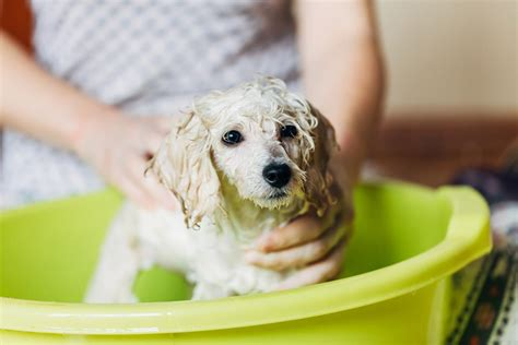 how to get rid of fleas on newborn puppies how to get rid of fleas from newborn puppies