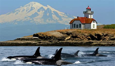 boat tours from seattle to san juan islands whale watching san juan cruises bellingham friday