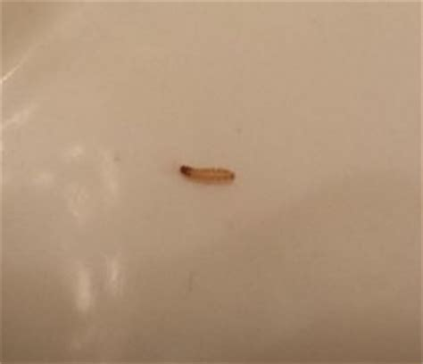 black worm like bug in bathroom image gallery tiny maggots