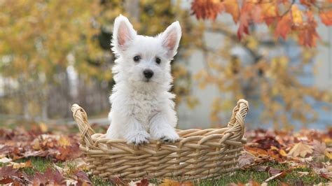 49 cute dog wallpapers top ranked cute dog wallpapers pc lkz484 可爱狗狗桌面壁纸高清大图预览1920x1080 动物壁纸下载 美桌网