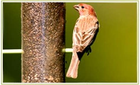 house finch food preferences house finch