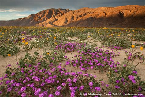 borrego desert flowers california