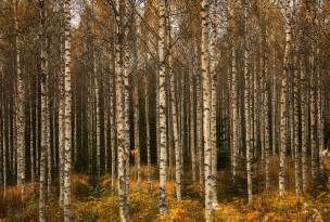 birch forest birch forest during autumn in finland sept