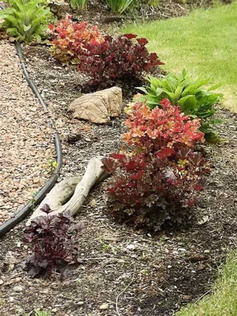 coral bells how to grow and care for heuchera sanguinea