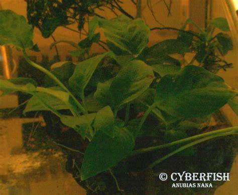 Lu Pl Aquascape plantes dites quot faciles quot