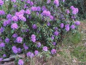 colorful photos of the rhododendron flowers places