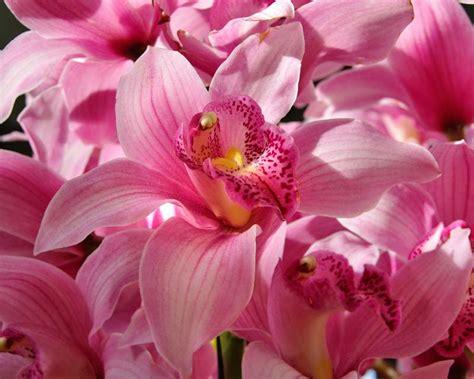 gardensonline cymbidium hybrids