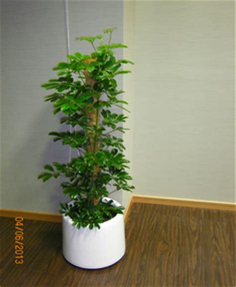 sufflariya green with fiber pot grass roots