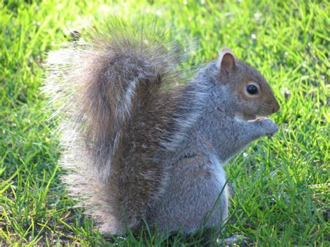 how to a squirrel squirrels how to get rid of squirrels in the garden the farmer s almanac