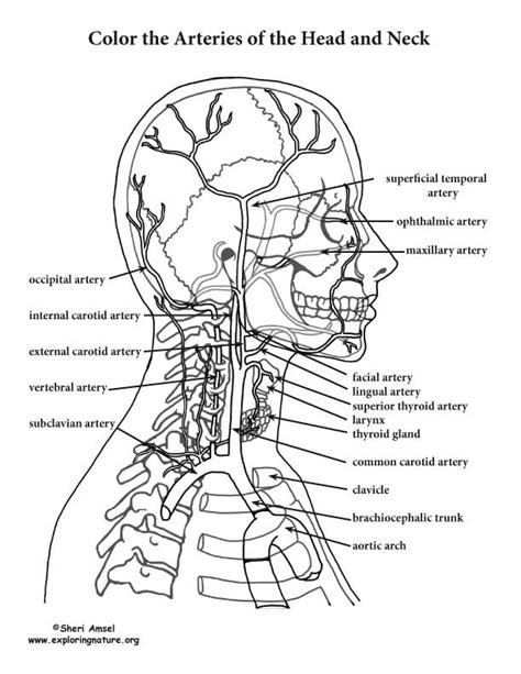 anatomy coloring book pdf free 80 best images about human anatomy on