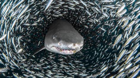 imagenes impresionantes de tiburones naturaleza vibrante las sorprendentes fotograf 237 as de