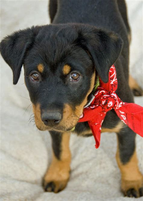 rottweiler shepherd mix puppy lucille the rottweiler mix puppies daily puppy